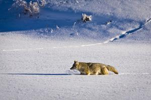 A Coyote Scours the Lamar Valley in Yellowstone National Park, Wyoming by Mike Cavaroc