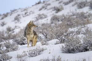 A Coyote Stands Alert in Snow in Yellowstone National Park, Wyoming by Mike Cavaroc