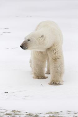 A Large Polar Bear Walks across a Frozen Lake Near Churchill, Manitoba, Canada by Mike Cavaroc