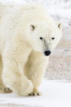 A Polar Bear Approaches Through the Snow in Churchill, Manitoba, Canada by Mike Cavaroc