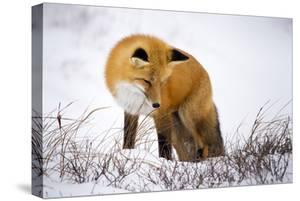 A Red Fox Stares at Snow as it Listens for a Potential Meal in Churchill, Manitoba, Canada by Mike Cavaroc