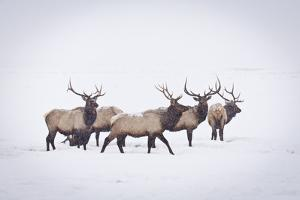 A Small Herd of Bull Elk Walk Through a Blizzard in the National Elk Refuge, Jackson, Wyoming by Mike Cavaroc