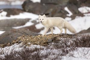 An Arctic Fox Walks Through Snow as it Stalks Potential Prey in Churchill, Manitoba, Canada by Mike Cavaroc