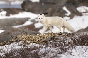 An Arctic Fox Walks Through Snow as it Stalks Potential Prey in Churchill, Manitoba, Canada by Mike Cavaroc
