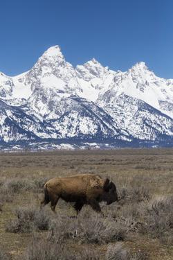Bison Walking Below Teton Mountains On Antelope Flats, Grand Teton National Park, Wyoming by Mike Cavaroc