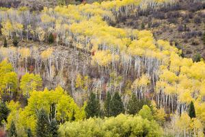 Fall Leaves Top the Aspen Trees North of Alpine, Wyoming by Mike Cavaroc