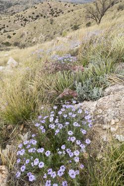 Goodding's Verbena Wildflowers Growing On Desert Grassland Hills, Coronado National Forest, Arizona by Mike Cavaroc