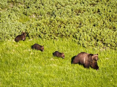 Grizzly Bear No.399 and Cubs in Willow Flats
