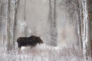 Moose Among Cottonwood And Willow Trees During A Snow Storm, Grand Teton National Park, Wyoming by Mike Cavaroc