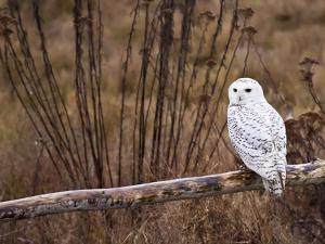 Snowy Owl Perched on Log by Mike Cavaroc