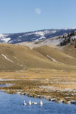 Trumpeter Swans Swim In Flat Creek, Full Moon Rises, National Elk Refuge Near Jackson, Wyoming by Mike Cavaroc
