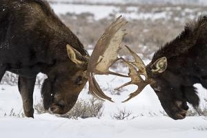 Two Bull Moose Spar in Grand Teton National Park, Wyoming by Mike Cavaroc