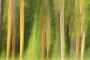 Lodgepole Pine Abstraction by Mike Grandmaison