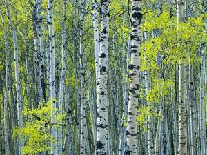 Spring Foliage on Trembling Aspen, Jasper National Park, Alberta, Canada. by Mike Grandmaison