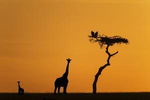 Female Giraffe with Baby at Sunrise by Mike Hill