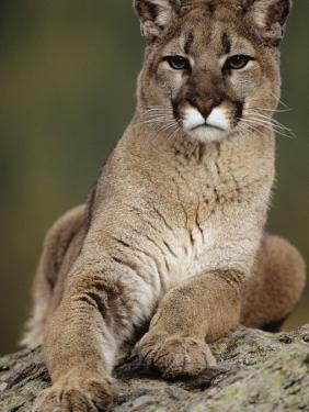 Mountain Lion or Cougar, USA by Mike Hill