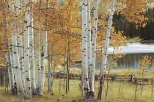 Birch Beauty by Mike Jones