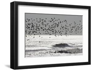Sanderling (Calidris alba) flock, in flight, silhouetted over sea, New York by Mike Lane