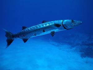Giant Barracuda, FL by Mike Mesgleski