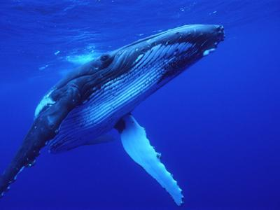 Humpback Whale (Megaptera Novaeangliae) Swimming, Underwater, Tonga by Mike Parry/Minden Pictures