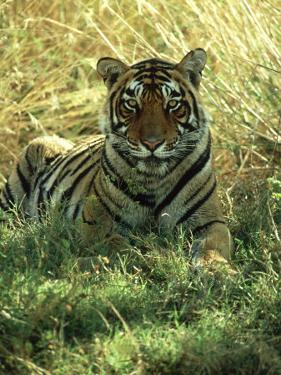 Bengal Tiger, 24 Month Male, India by Mike Powles