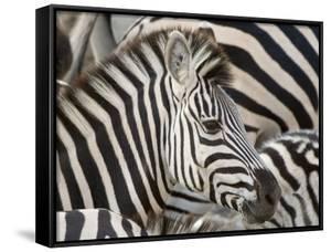 Burchells Zebra, Head, Botswana by Mike Powles