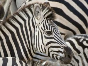 Burchells Zebra, Head, Botswana by Mike Powles