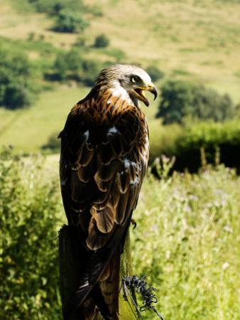 Red Kite, Adult Overlooking Countryside, UK