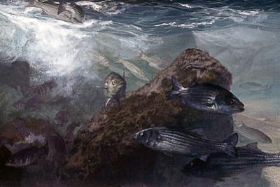 A Striped Bass School Close to Shore During the Late Spring Off the Jetties of New Jersey by Mike Rivken