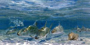 Bonefish Schooling with Permit Fish on the Flats by Mike Rivken