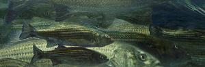 Striped Bass of All Sizes Collect under the Cold Water During the Winter by Mike Rivken