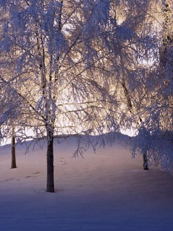 Snowy Light Trees, Anchorage, Alaska