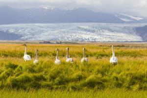 A Family of Whooper Swans in Tall Grass Near a Large Glacier on the South Coast of Iceland by Mike Theiss