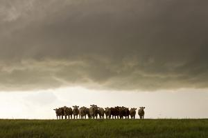 A Herd of Cattle Standing Side-By-Side, in a Perfect Row, in a Field under a Thunderstorm by Mike Theiss