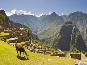 A Llama Grazing at the Pre-Columbian Inca Ruins at Machu Picchu by Mike Theiss
