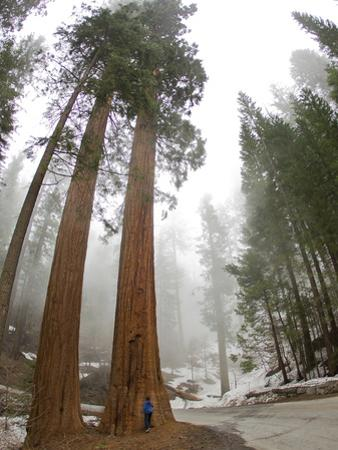 A Man Standing in Front of a Giant Sequoia Tree to Give it Scale by Mike Theiss