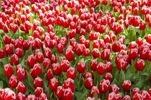 A Mass of Red Tulips with White Edges at a Spring Exhibit by Mike Theiss