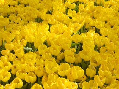 A Mass of Yellow Tulips at a Spring Exhibit by Mike Theiss