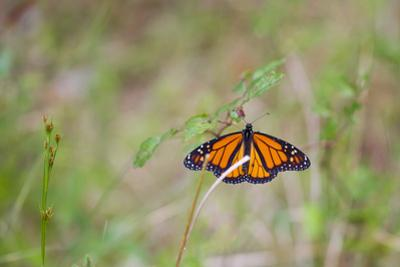 A Monarch Butterfly, Danaus Plexippus, Resting on a Small Weed by Mike Theiss