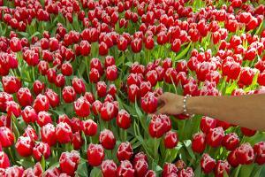 A Woman Reaching into a Mass of Red Tulips with White Edges by Mike Theiss
