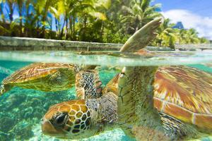 Close Up of Green Sea Turtles While Swimming with Them at the Le Meridien Resort by Mike Theiss