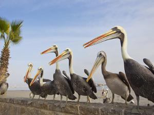 Peruvian Pelicans Sitting on a Seawall at the Beach by Mike Theiss