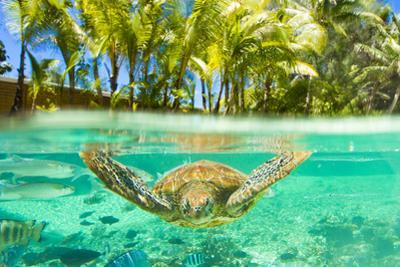 Swimming with a Green Sea Turtle and Tropical Fish at the Le Meridien Resort