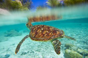 Swimming with Green Sea Turtles at the Le Meridien Resort by Mike Theiss