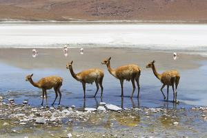 Vicunas Standing in a Row at a Lagoon by Mike Theiss