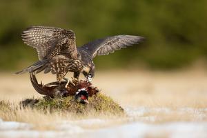 Peregrine Falcon by Milan Zygmunt