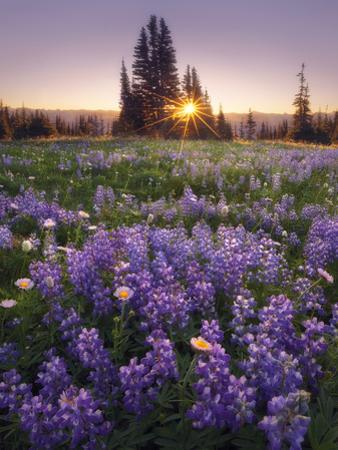 Sunrise in Mt. Rainier National Park During Wildflower Season by Miles Morgan