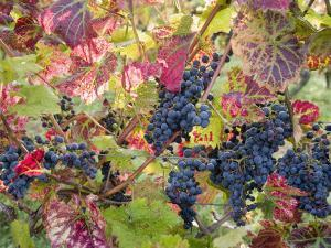 Autumn Grapes and Vines, Denbies Vineyard, Dorking, Surrey, England, United Kingdom, Europe by Miller John
