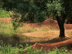 Nets under Olive Trees, Corsica, France, Europe by Miller John