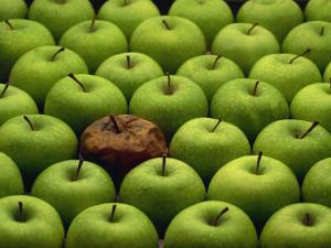 One Rotten Apple Amongst Other Green Apples by Miller John